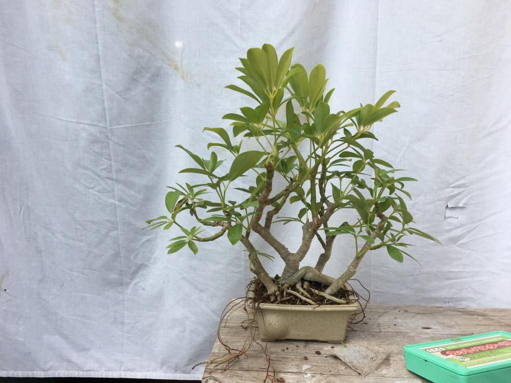 Schefflera arboricola Img_7910