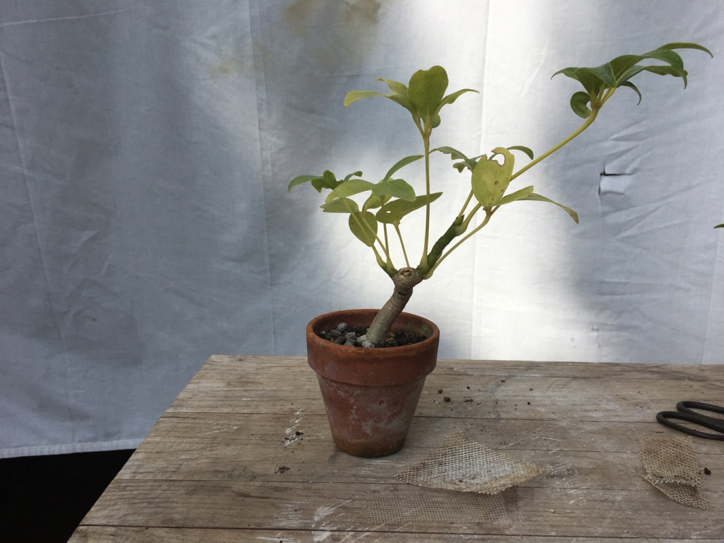Schefflera arboricola Img_7919