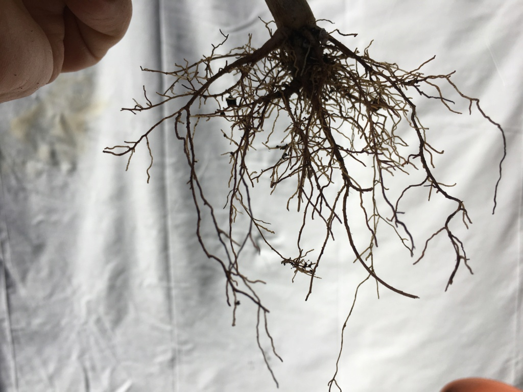 Schefflera arboricola Img_7920