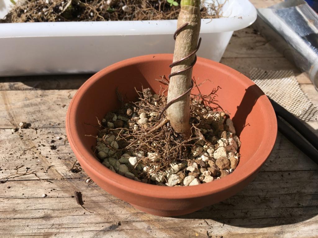 Schefflera arboricola - Página 2 Img_7923