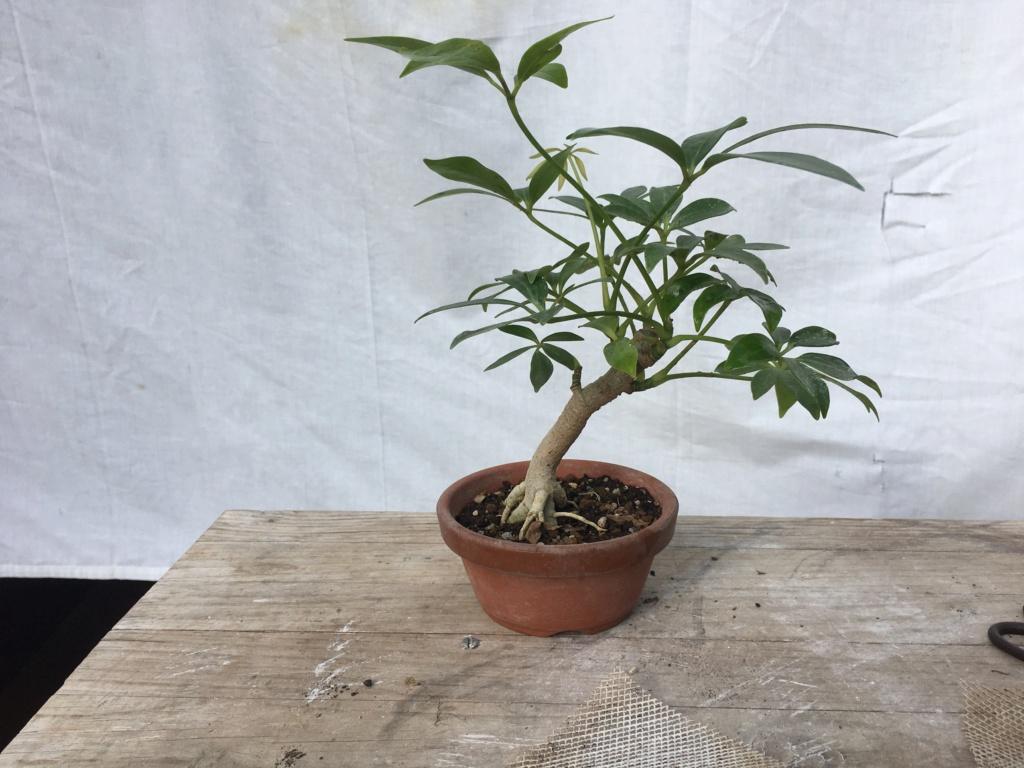 Schefflera arboricola - Página 2 Img_7924