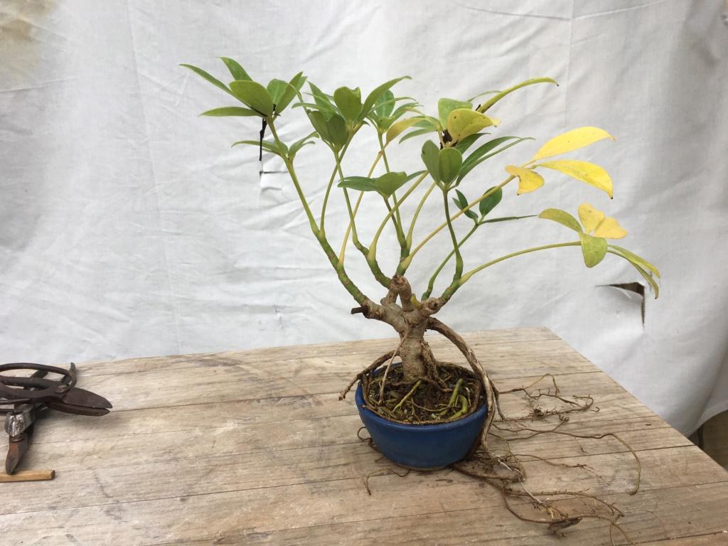 Schefflera arboricola - Página 2 Img_7925