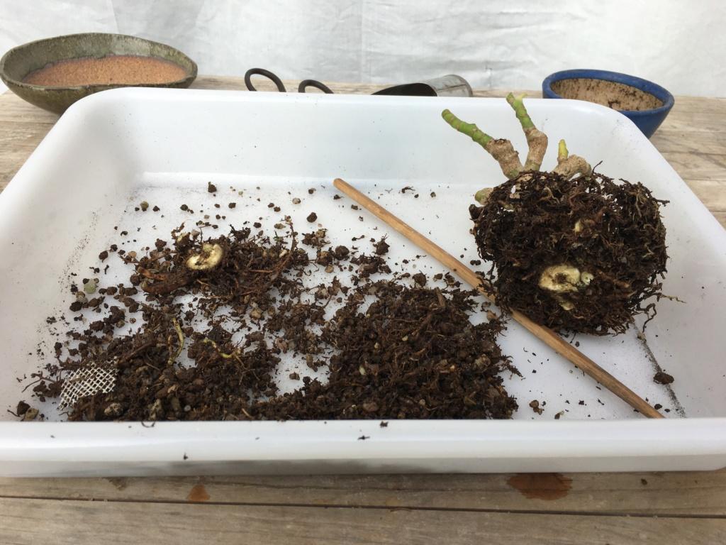 Schefflera arboricola - Página 2 Img_7928