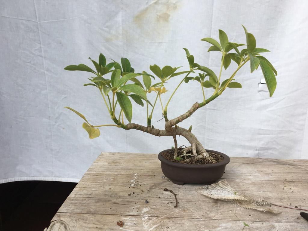 Schefflera arboricola - Página 2 Img_7934