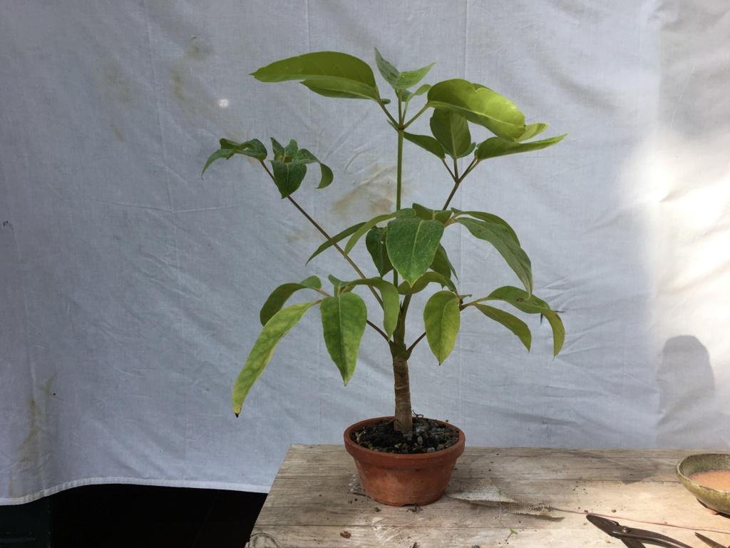 Schefflera arboricola - Página 2 Img_7935