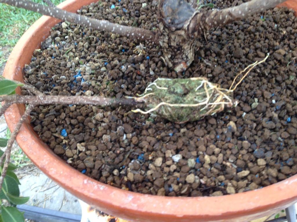 Ficus Retusa Microcarpa, ficus tiger bark - Página 3 Img_8012