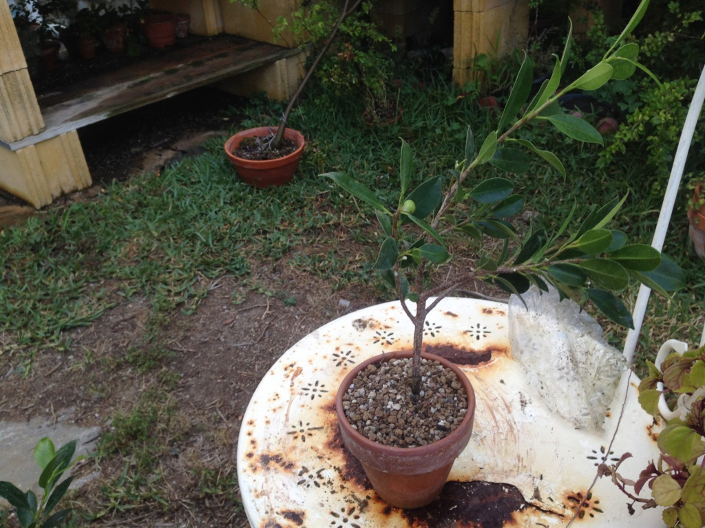 Ficus Retusa Microcarpa, ficus tiger bark - Página 3 Img_8013