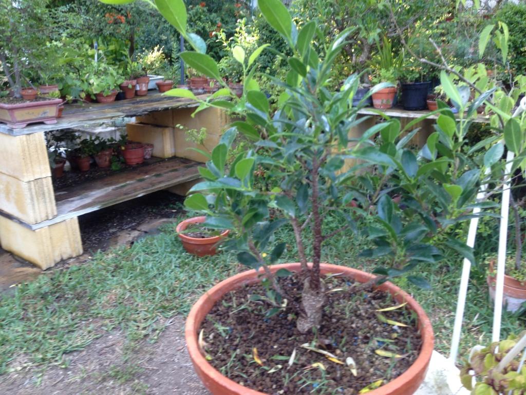 Ficus Retusa Microcarpa, ficus tiger bark - Página 3 Img_8014