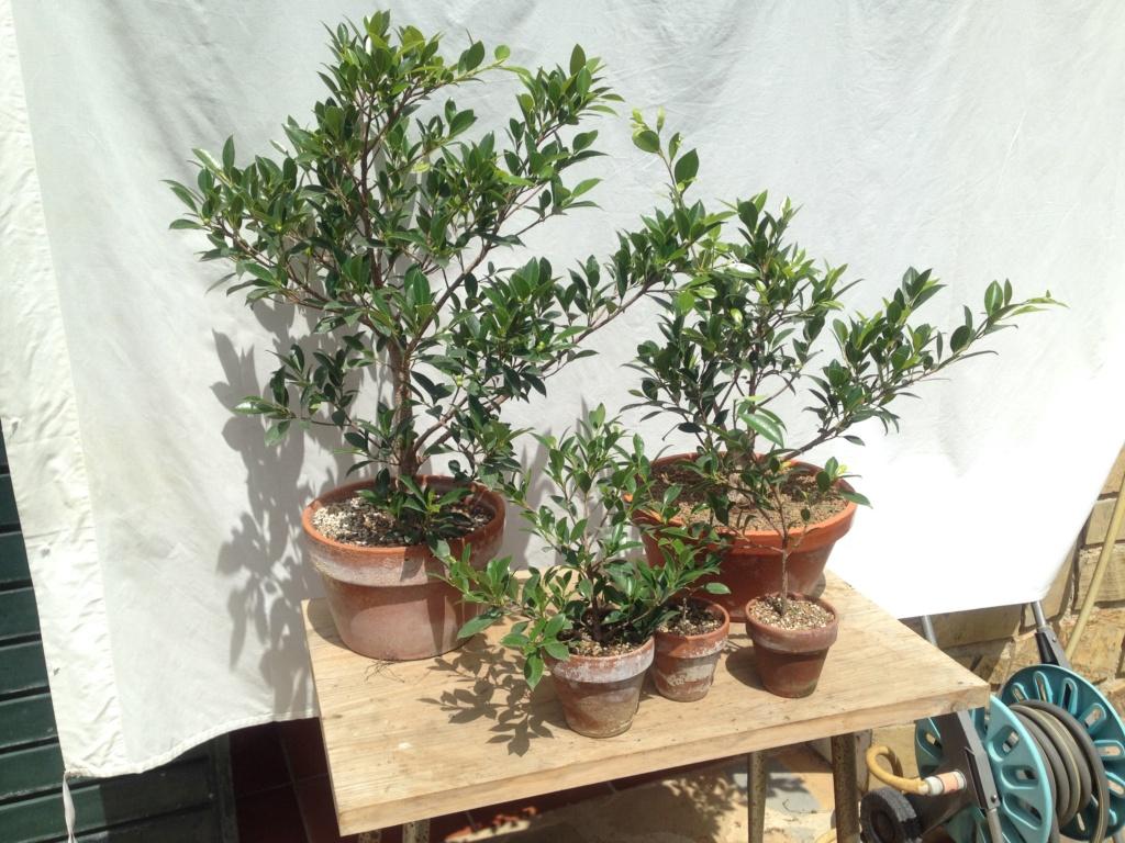 Ficus Retusa Microcarpa, ficus tiger bark - Página 3 Img_8210