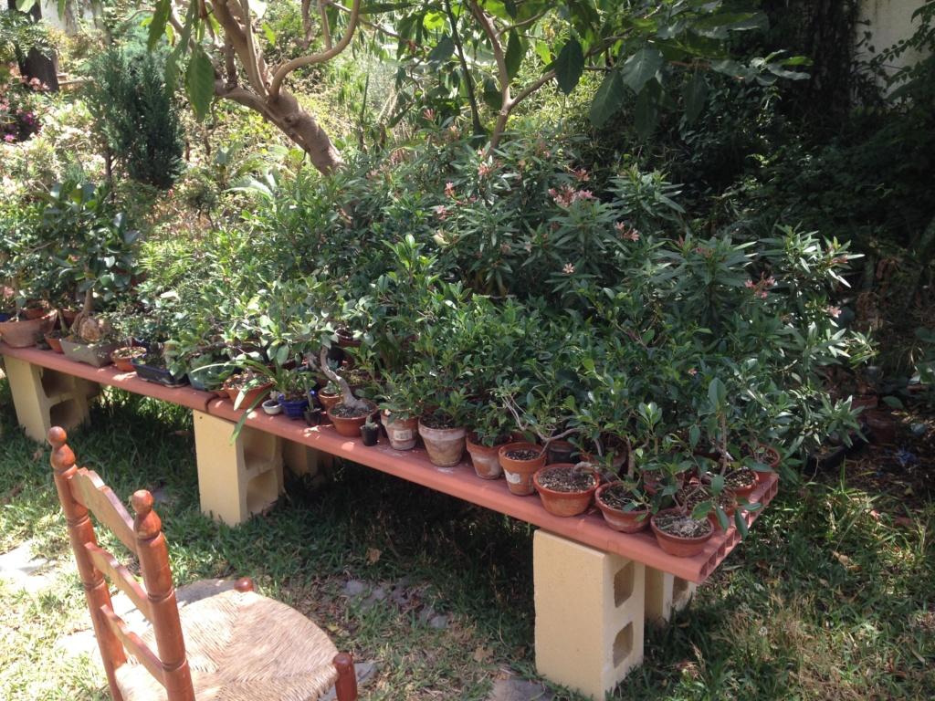 Ficus Retusa Microcarpa, ficus tiger bark - Página 3 Img_8211
