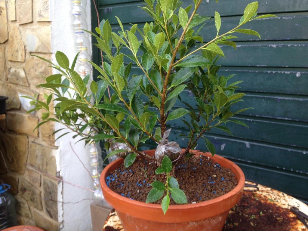 Ficus Retusa Microcarpa, ficus tiger bark - Página 3 Img_8711