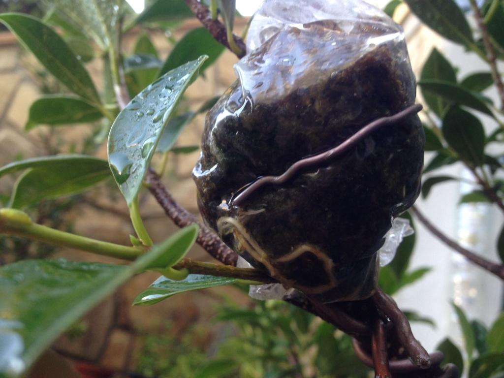 Ficus Retusa Microcarpa, ficus tiger bark - Página 3 Img_8712