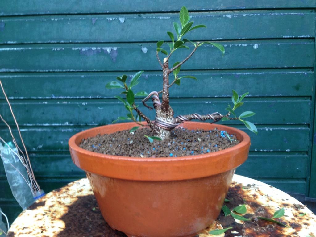 Ficus Retusa Microcarpa, ficus tiger bark - Página 3 Img_8713