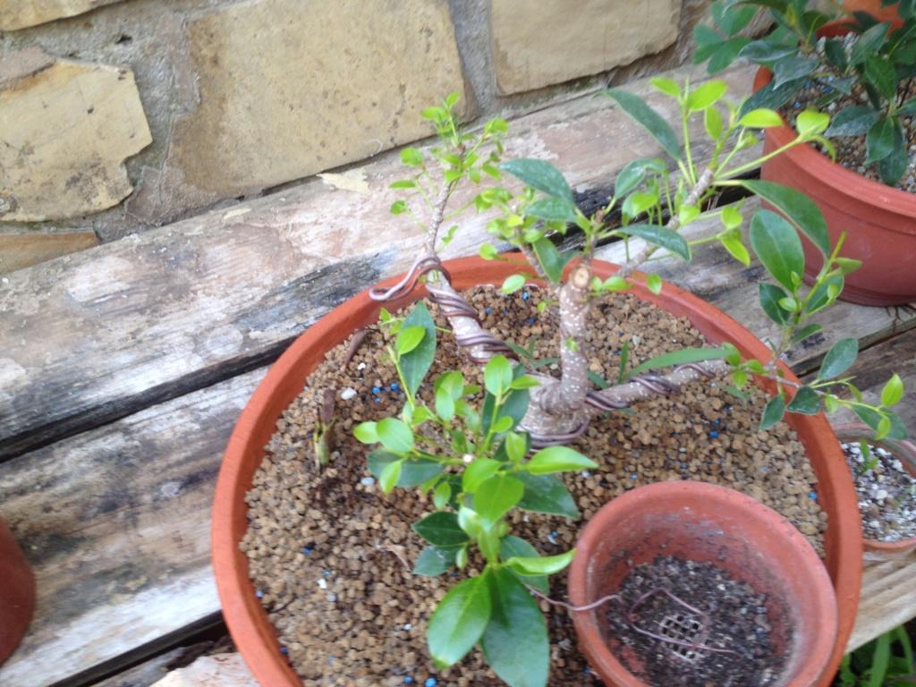 Ficus Retusa Microcarpa, ficus tiger bark - Página 3 Img_9010