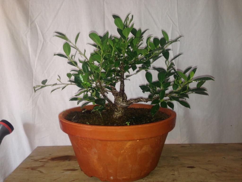 Ficus Retusa Microcarpa, ficus tiger bark - Página 3 Img_9612