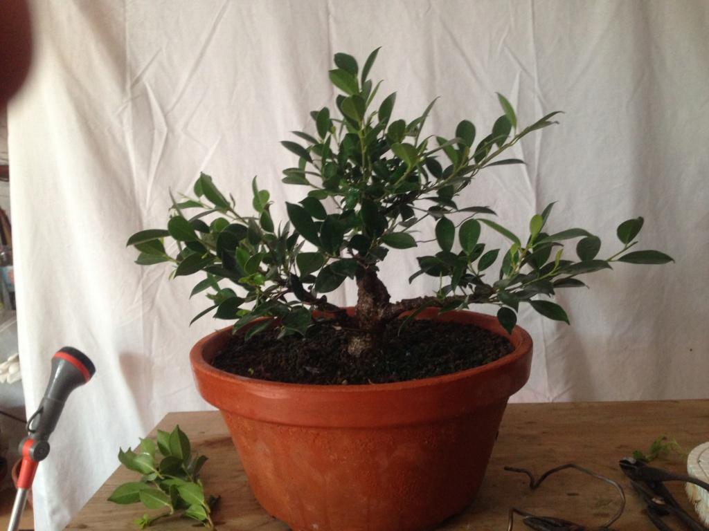 Ficus Retusa Microcarpa, ficus tiger bark - Página 3 Img_9613