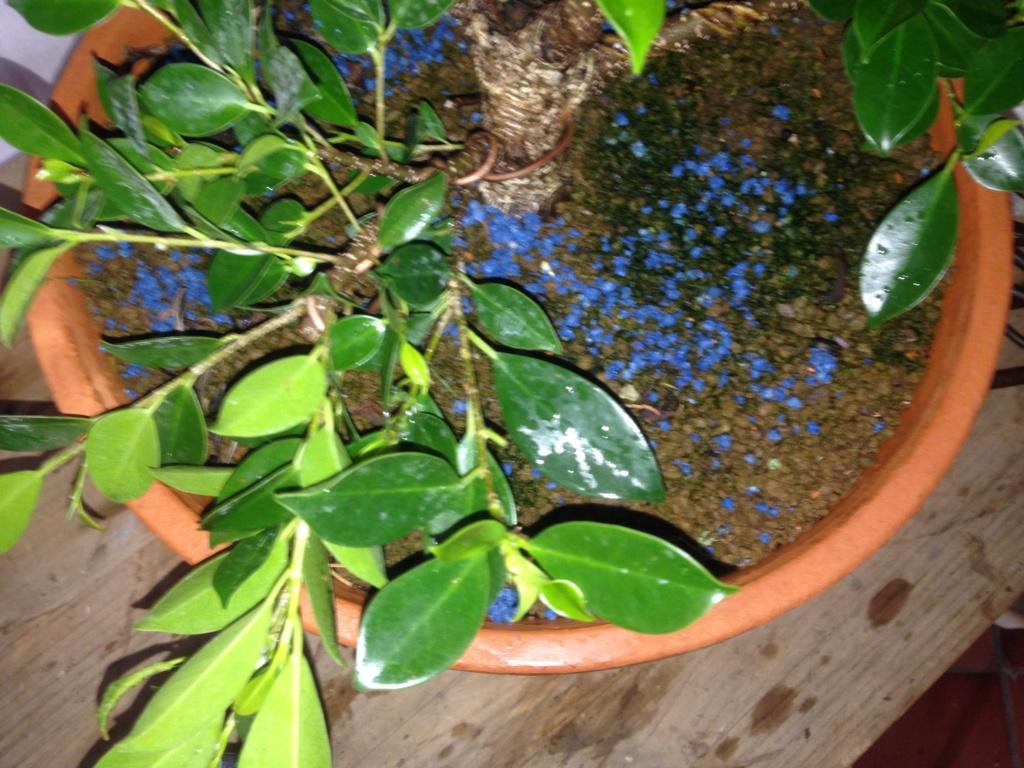 Ficus Retusa Microcarpa, ficus tiger bark - Página 4 Img_9614