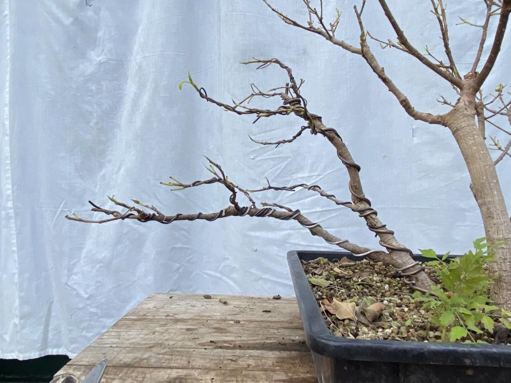 ficus de rama a bosque - Página 2 Img_9716