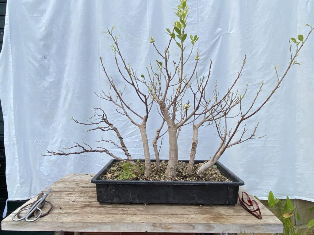 ficus de rama a bosque - Página 2 Img_9717