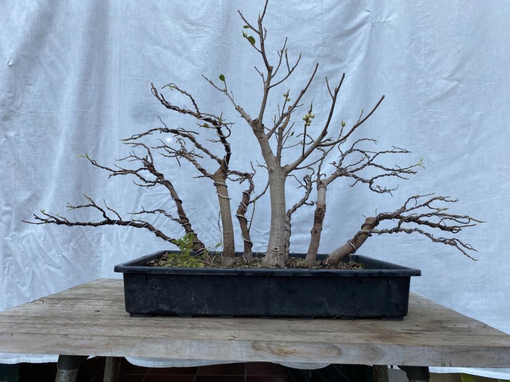 ficus de rama a bosque - Página 2 Img_9810