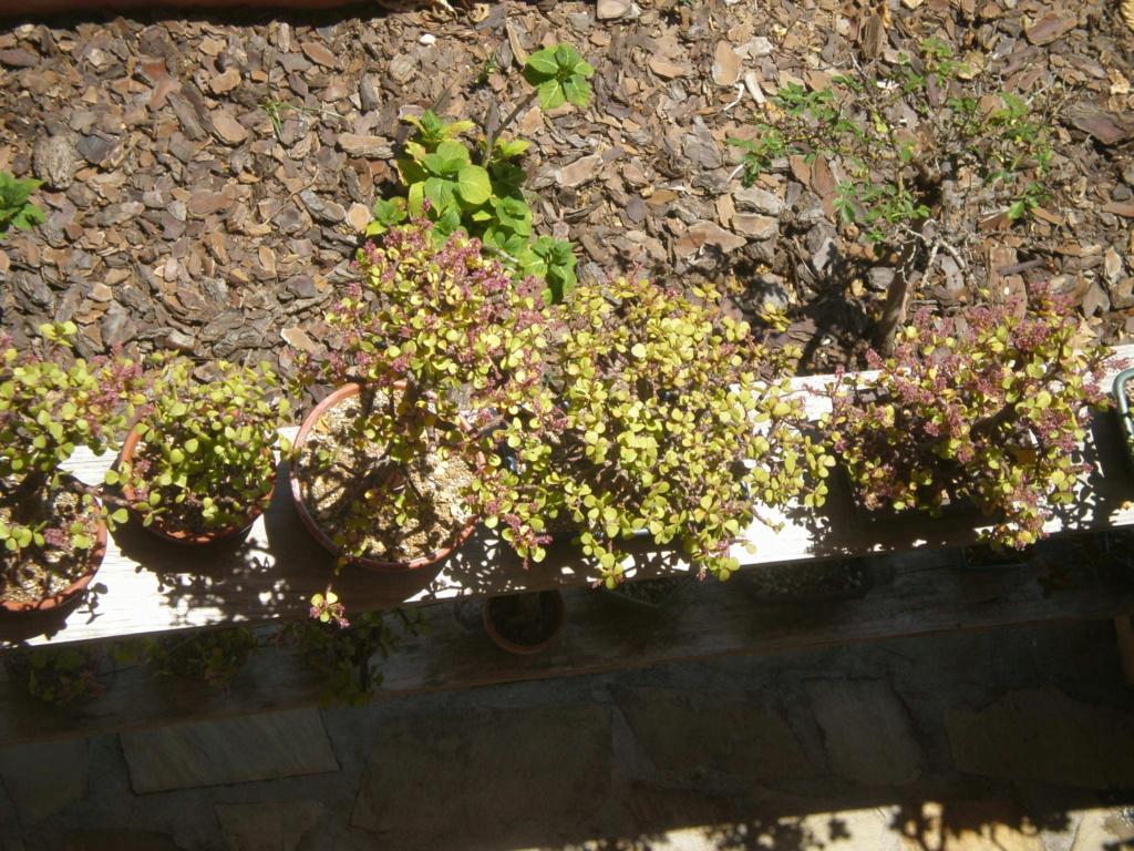 Portulacaria Afra y hojas grandes P6240010