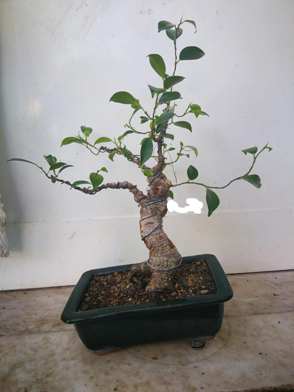 Evolución de Ficus retusa opiniones  Sin_tz10