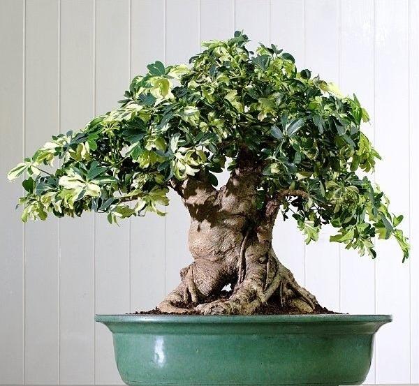 Schefflera arboricola - Página 2 Sin_tz20