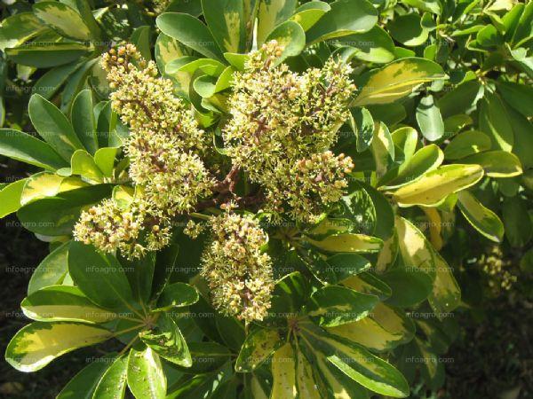 Schefflera arboricola Sin_tz23