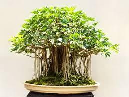 Schefflera arboricola Sin_tz25