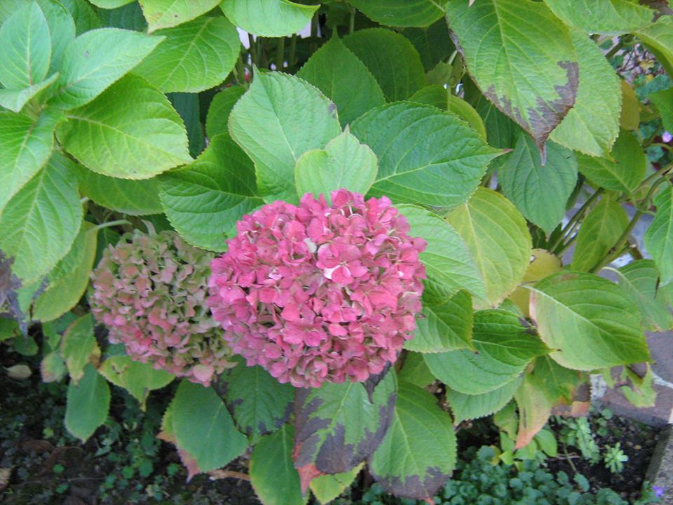 Fleurs de saison - Page 28 Ortens10