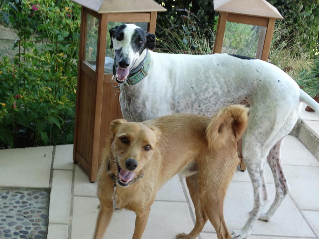 BLAN  joli galgo male blanc et noir 1 an Adopte - Page 3 Dsc02118