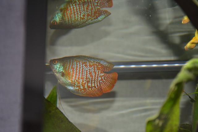 Colisa Lalia mâle ou femelle?  Dsc_0514
