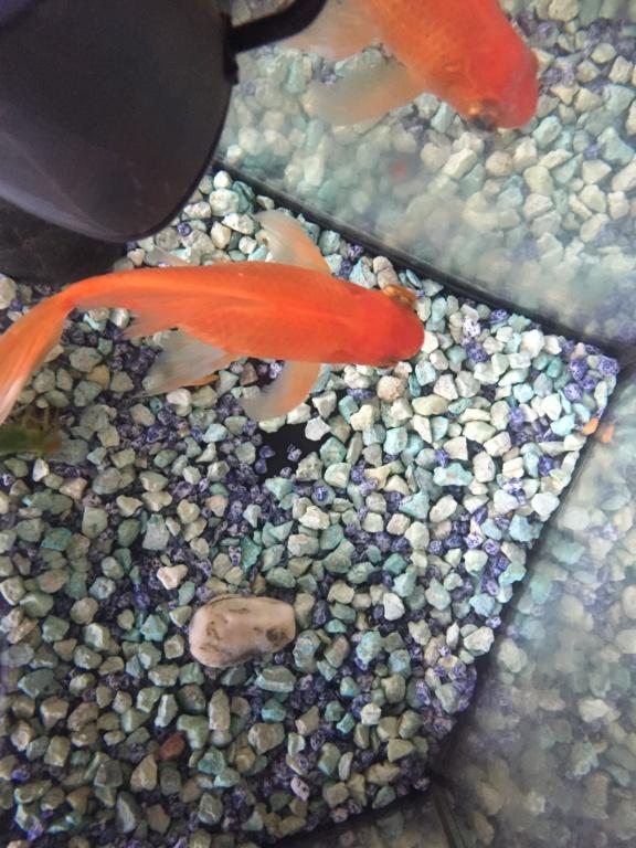exophtalmie poisson rouge Af34ee10