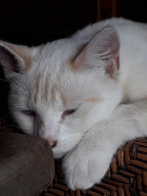 Navalo chat mâle red point européen né le 21 août 2017 20190911