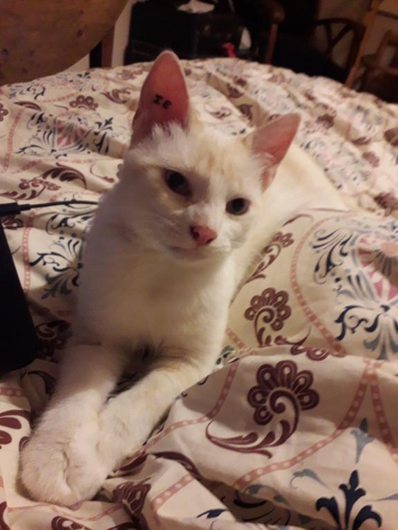 Navalo chat mâle red point européen né le 21 août 2017 20190917