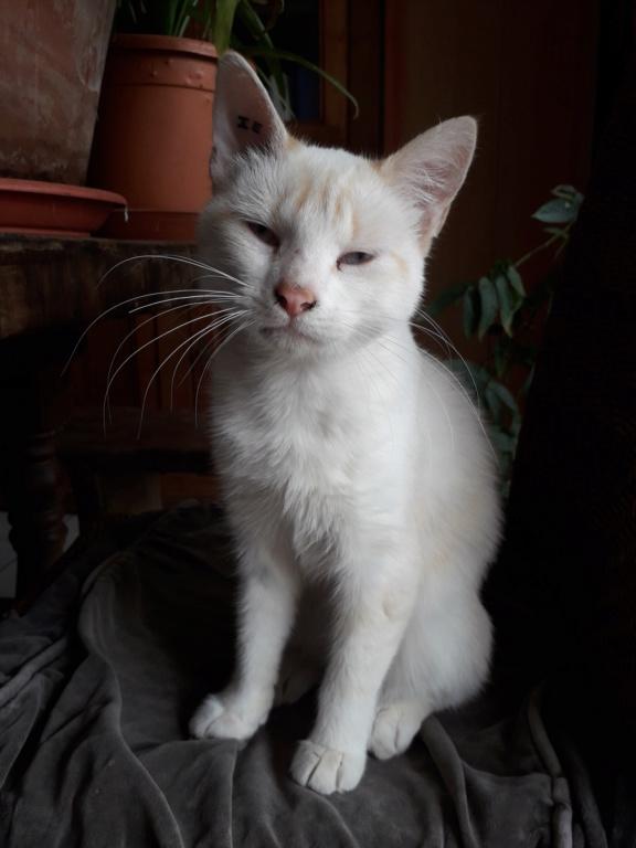 Navalo chat mâle red point européen né le 21 août 2017 20190918