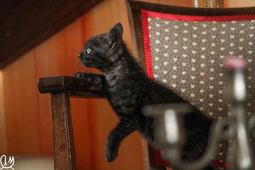 Pipo chaton  noir smoke européen né le 7 mars 2019  4011