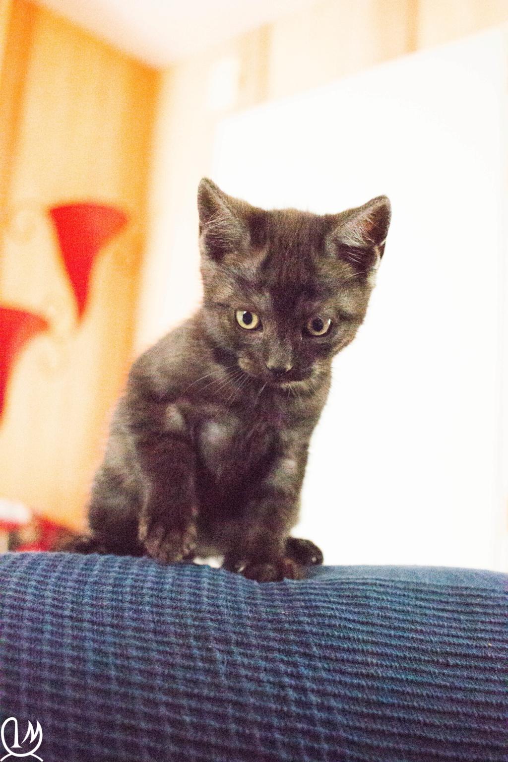 Pipo chaton  noir smoke européen né le 7 mars 2019  4211