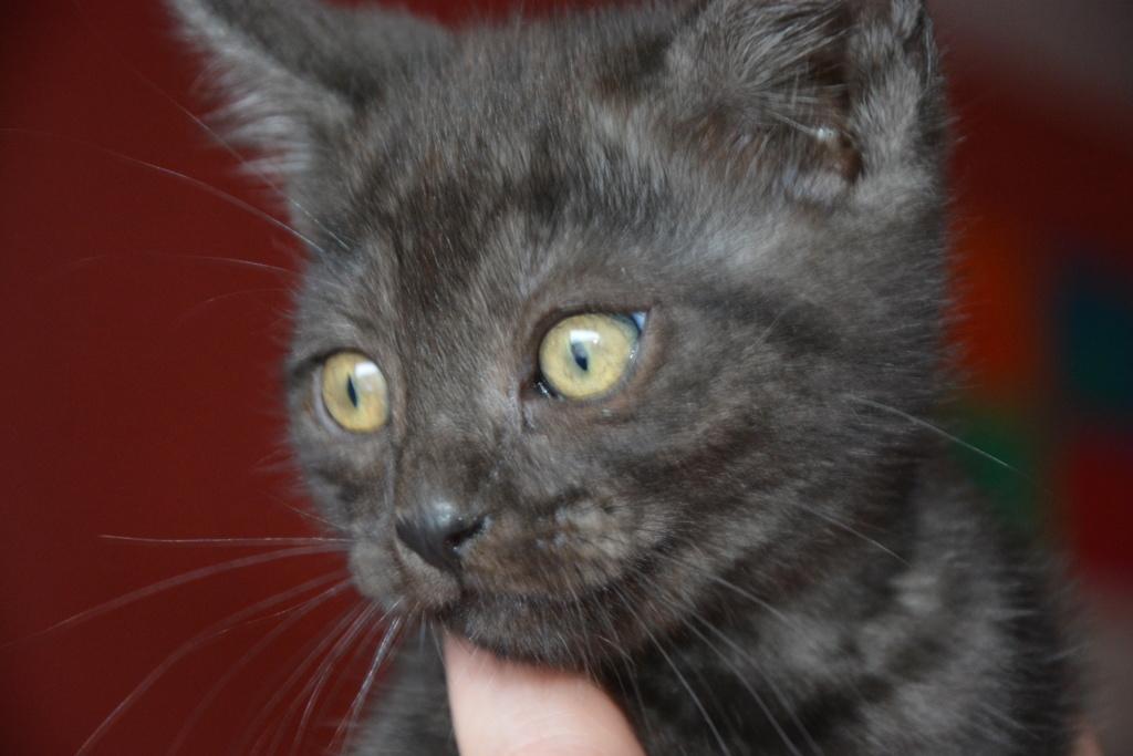 Pipo chaton  noir smoke européen né le 7 mars 2019  Dsc_2410