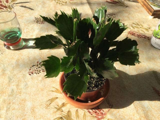 Cactus de Noël ou Schlumbergera - Page 9 6303d110