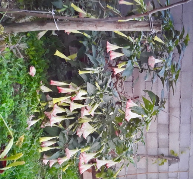 Le brugmansia  - Page 4 84129810
