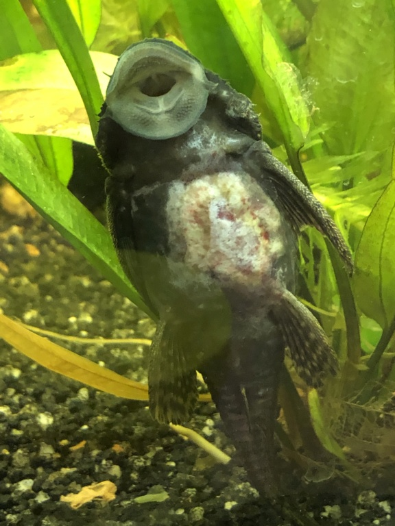 Mon poisson a une grosse tache blanche Dcaf0510