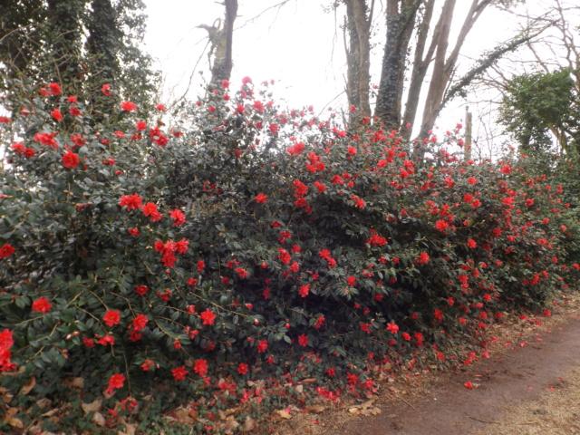 Camellia - choix & conseils de culture - Page 3 Dscf4811