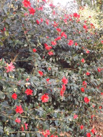 Camellia - choix & conseils de culture - Page 3 Dscf4812