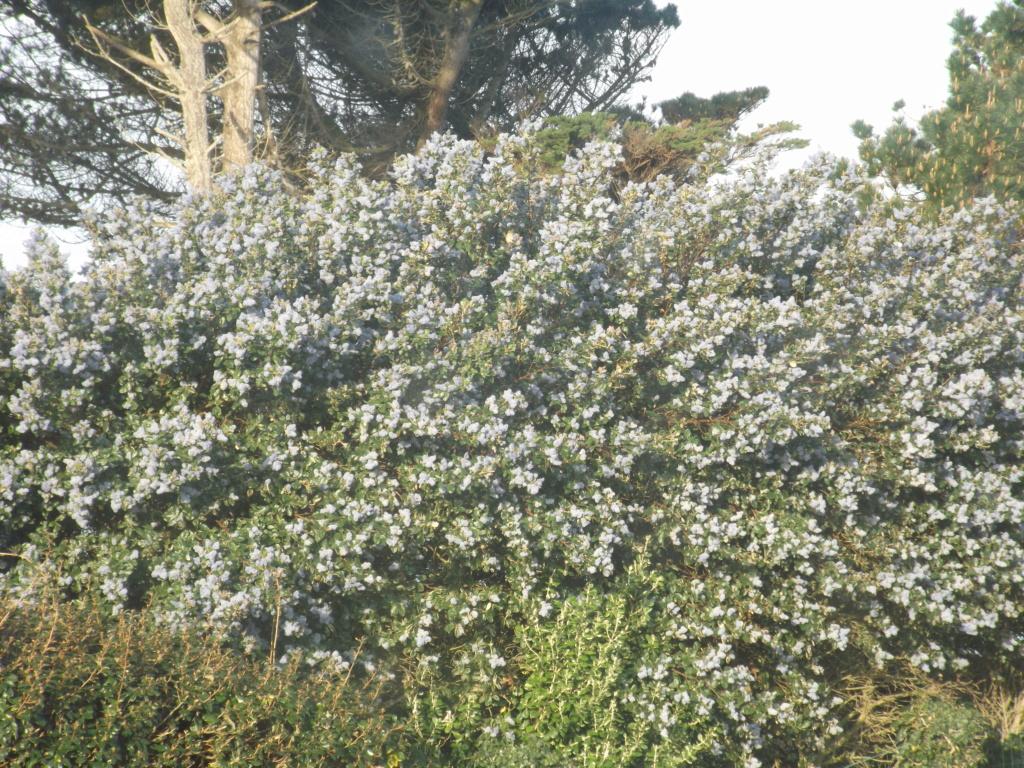 Ceanothe arboreus 'Trewithen Blue' Dscf5810