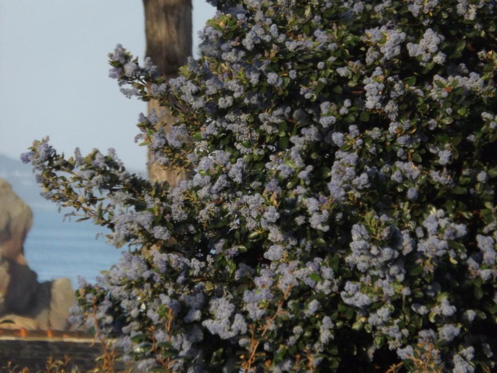 Ceanothe arboreus 'Trewithen Blue' Dscf5811