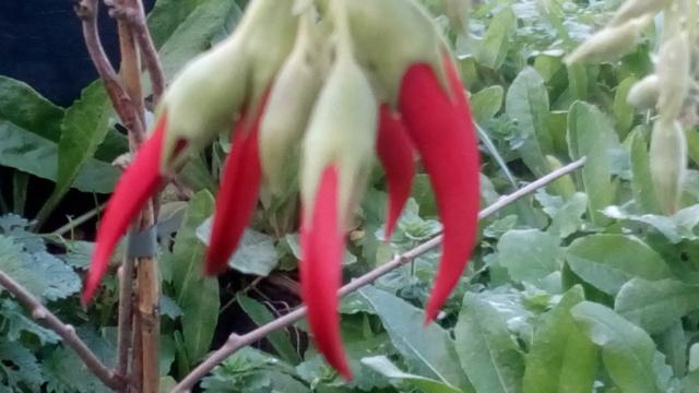 Devinette bretonne résolue: Clianthus puniceus Img_2011