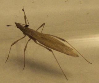 [Berytinus sp.] Berytidae Beryti12