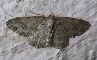 Geometridae Boarmi12