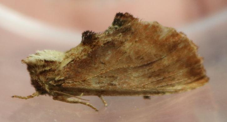 Noctuidae Plusiinae Captur11